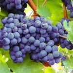 秋のドイツ名物!発酵途中ワイン・フェーダーヴァイサー