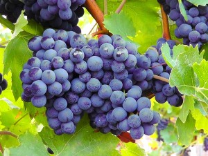 blue-grapes-77376